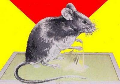 Мышь в ловушке