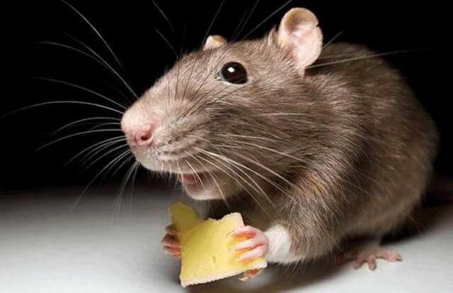 Клей для мышей чем отмыть — Чисто в доме